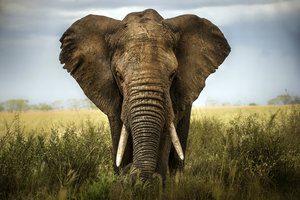 background elephant Africa